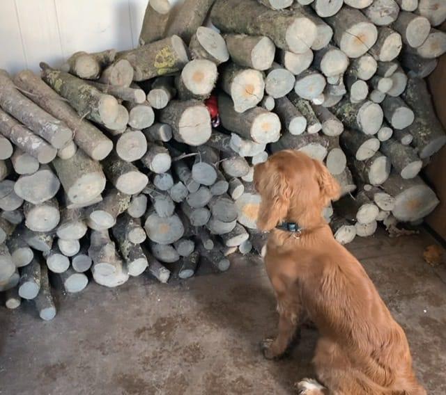 Detectie training cocker puppy